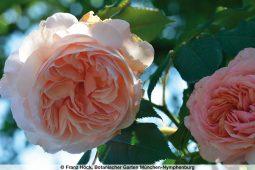 Rosenschau Botanischer Garten