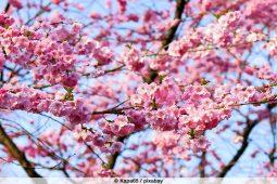 Kirschblüte / Japandult