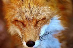 Kopf eines Fuchses mit zusammengekniffenen Augen in Nahaufnahme